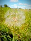 Dandelion Transparent Texture stock images