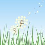 dandelion trawa Fotografia Stock