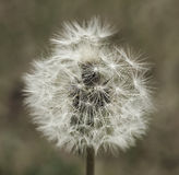 Dandelion tuft closeup Royalty Free Stock Photography