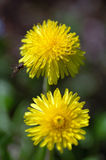 Dandelion twins Stock Images