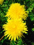 Dandelion Twins. Close up of a pair of Dandelions taken on an iPhone Royalty Free Stock Image