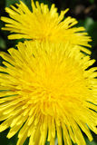 Dandelion. Two brightly flowering dandelion by a canicular day Royalty Free Stock Photography