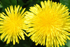 Dandelion. Two brightly flowering dandelion by a canicular day Stock Photography
