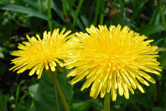 Dandelion. Two brightly flowering dandelion by a canicular day Royalty Free Stock Images
