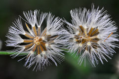 Dandelion. Two buds of dandelion waiting to spread its seed into the air Royalty Free Stock Photo