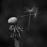 Dandelion with two last seeds Royalty Free Stock Images