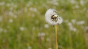 Dandelion umbrellas float along the breeze stock footage