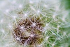 Dandelion. Umbrellas full screen macro stock image