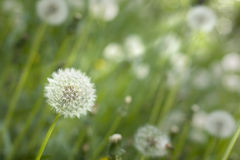 Dandelion under sun rays. Royalty Free Stock Image