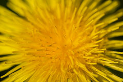 Dandelion Up Close Stock Photography