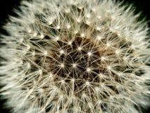 Dandelion up, krańcowy dandelion zamknięty, makro-, ostatni, obraz royalty free