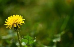 Dandelion - uzdrawiać kwiatu obrazy royalty free
