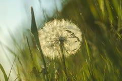 Dandelion, Vegetation, Flower, Grass Royalty Free Stock Photo