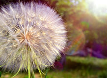 Dandelion. Very beautiful wild forest dandelion of large size Stock Images
