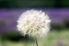 Dandelion on vona lavender pal royalty free stock image