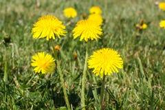 Dandelion wśród kwiatów Obraz Royalty Free