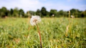 Dandelion w łące zdjęcia royalty free