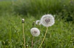 Dandelion w łące zielona trawa Zdjęcia Stock