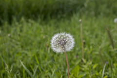 Dandelion w łące zielona trawa Zdjęcie Stock