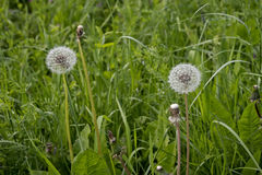 Dandelion w łące zielona trawa Fotografia Royalty Free