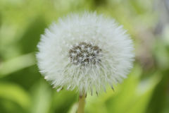 Dandelion w świeżym zielonym tle Obraz Royalty Free