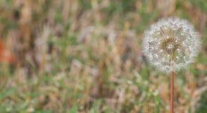dandelion w/blur zdjęcie stock