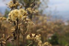 Dandelion w czasie susza po środku natury zdjęcia royalty free