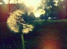 Dandelion w jesieni zdjęcie royalty free