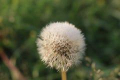 Dandelion w kroplach rosa fotografia stock