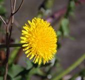 Dandelion w kwiacie Zdjęcie Stock