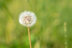 Dandelion w lata świetle Obrazy Royalty Free