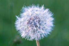 Dandelion w lata świetle Obrazy Stock