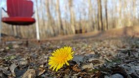 Dandelion w liściach Zdjęcie Stock
