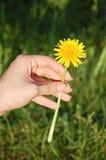 Dandelion w ludzkiej ręce Zdjęcia Royalty Free