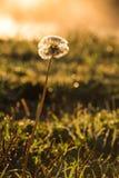 Dandelion w Miękkim świetle Zdjęcia Stock
