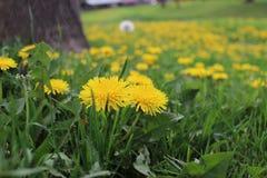 Dandelion w morzu żółty kwiat Obraz Royalty Free