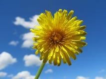 Dandelion w niebie Obraz Royalty Free