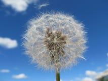 Dandelion w niebie Fotografia Stock