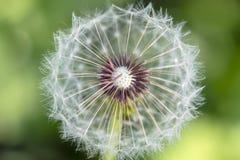 Dandelion w ogródzie Fotografia Stock