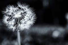 Dandelion w ogródzie Obraz Royalty Free