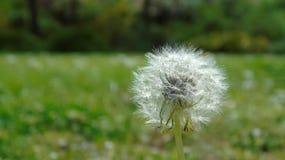 Dandelion w parku Zdjęcie Stock