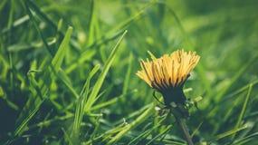 Dandelion w polu Zdjęcie Royalty Free