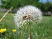 Dandelion wśród kwiatów Zdjęcia Stock