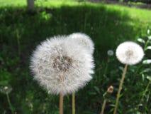 Dandelion wśród kwiatów Obraz Stock