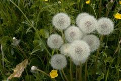 Dandelion wśród kwiatów Fotografia Royalty Free
