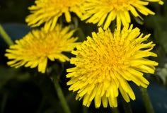 Dandelion wśród kwiatów Wiosna kwiat Obrazy Royalty Free