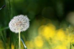 Dandelion wśród kwiatów Wiosna kwiat Obraz Royalty Free