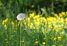 Dandelion wśród kwiatów Wiosna kwiat Fotografia Stock