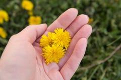 Dandelion w ręce Obraz Stock