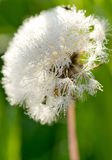 Dandelion w rosie Zdjęcie Stock